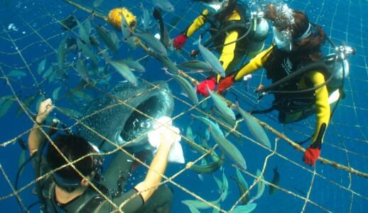 ジンベエザメ 体験ダイビング